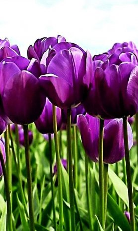 Hd Purple Tulips Wallpaper Screenshot 3