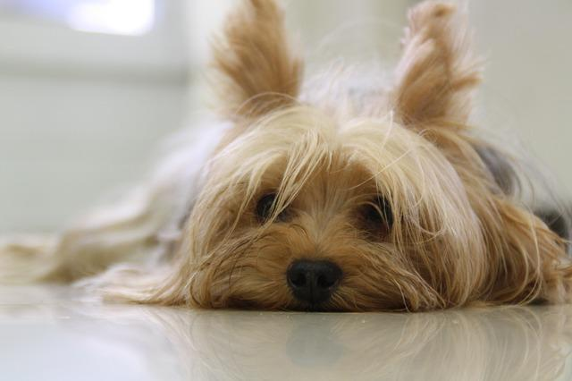 yorkshire terrier dogs 1 00 download apk for android aptoide rh yorkshire terrier en aptoide com