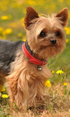 18+ Anjing yorkshire terrier terbaru