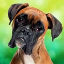 Boxer Dog Simulator