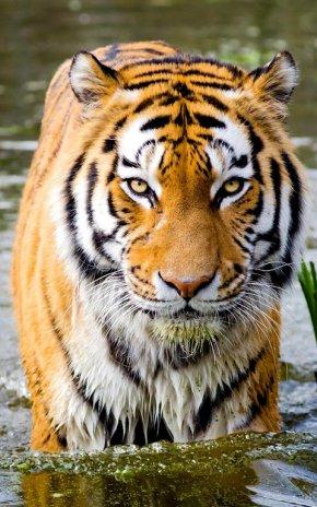 Tiger Live Wallpaper Screenshot 5