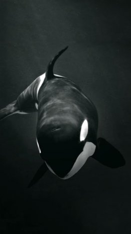 Killer whale wallpaper 600 download apk for android aptoide killer whale wallpaper screenshot 3 altavistaventures