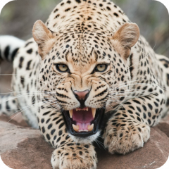 Leopard live wallpaper hd 10 download apk for android aptoide leopard live wallpaper hd icon voltagebd Image collections