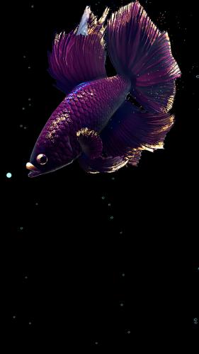 Betta Fish Live Wallpaper Free 1 4 Download Android Apk Aptoide