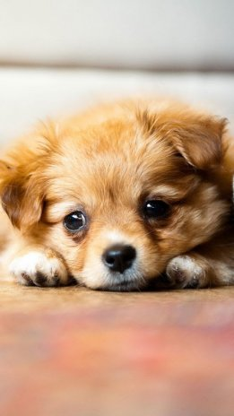 Puppies Live Wallpaper 1.4 Unduh APK