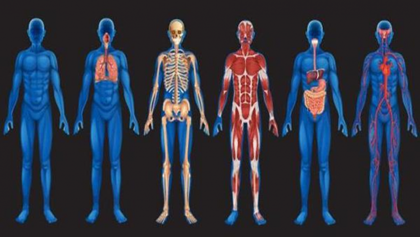 Human Anatomy Atlas 1 Download Apk For Android Aptoide