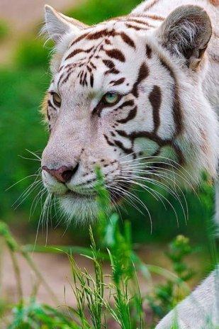 White Tiger Live Wallpaper Screenshot 4