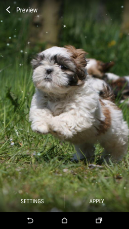 Shih Tzu Live Wallpaper Screenshot 5
