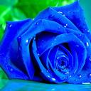 Blue Rose Live Wallpaper