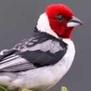 Cantos de Pássaros Brasileiros