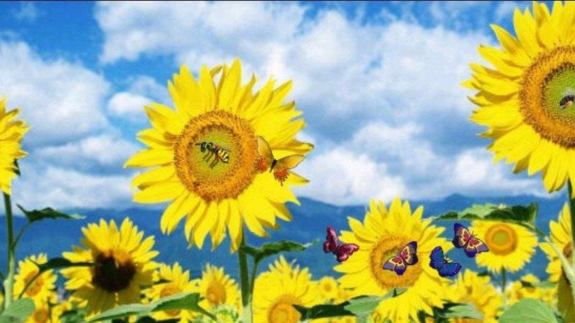 ... 3d sunflowers live wallpaper screenshot 4