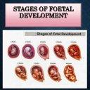 Fetal development stages
