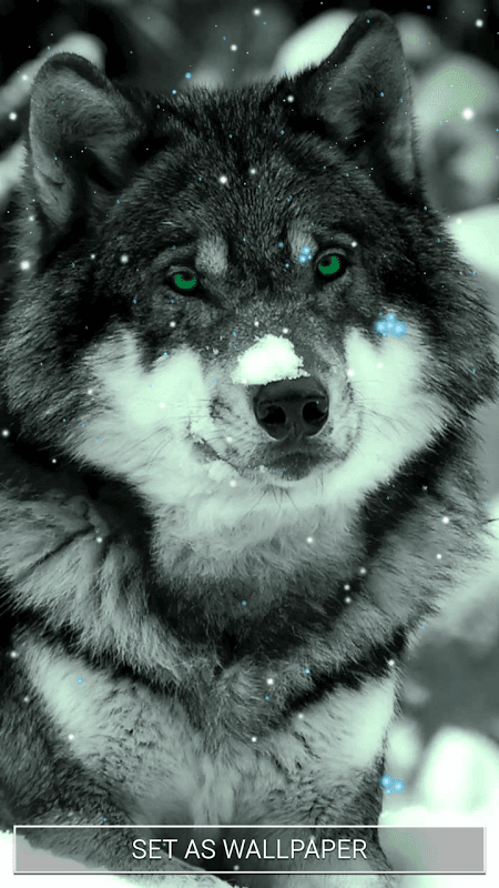 живые картинки волков