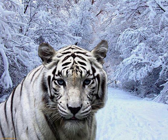 White Tiger Live Wallpaper Screenshot 1 2
