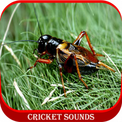 cricket sounds download