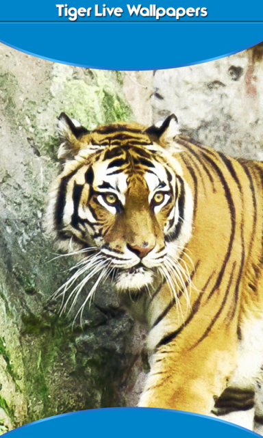 tiger live wallpapers download apk for android aptoide